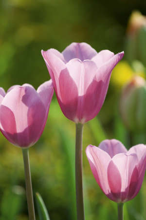 Three pink tulips, spring, sunlight photo