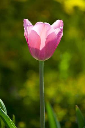 Pink tulips, spring, sunlight photo