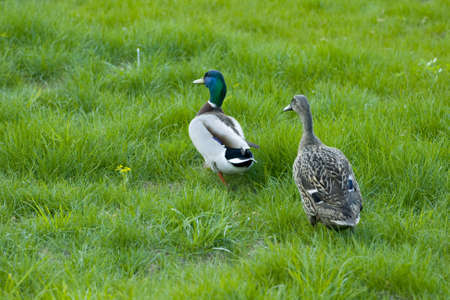 freshwater bird: Duck and drake, marriage period