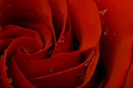 Heart of red rose with drops