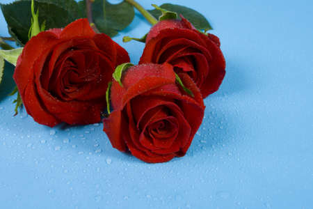 Three dark red roses with drops on blue one