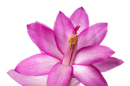Pink home flower of spring, cactus photo