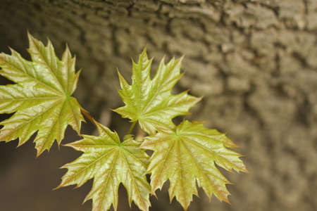 rinds: leaves of the maple on the rinds tree