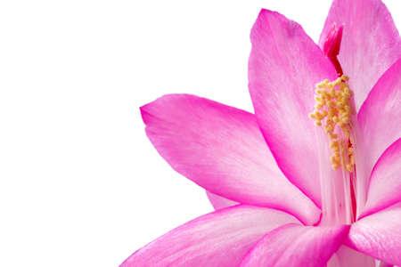 Decembrist is a Brazilian cactus, pink petals photo