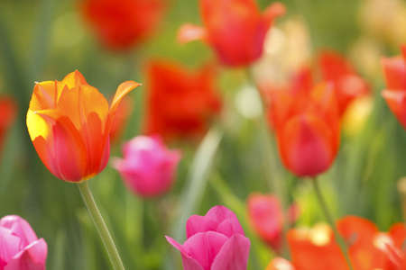 red and yellow tulips are on the glade