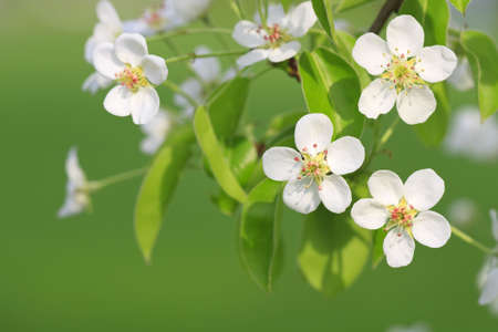 Branch of apple tree with flowers is in sunny light photo