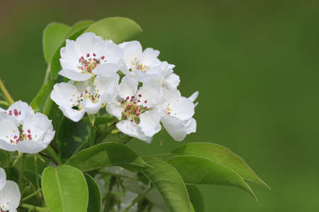 White flowers of apple flowering tree photo