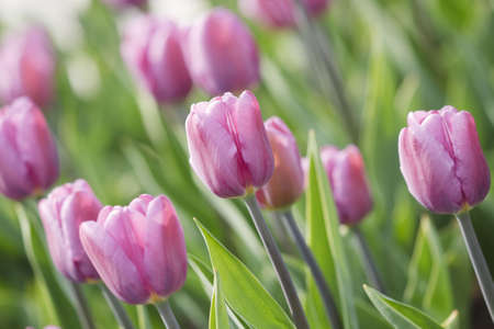 Glade of pink tulips are in the park Stock Photo
