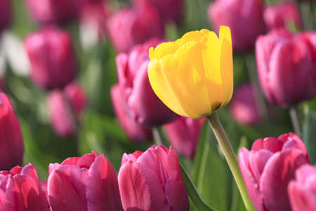 Sunny tulip is  in the front of glade of violet tulips.