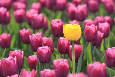 Yellow tulip is in the violet  glade of tulips