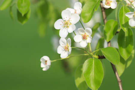 Branch of apple tree is in orchard in spring time