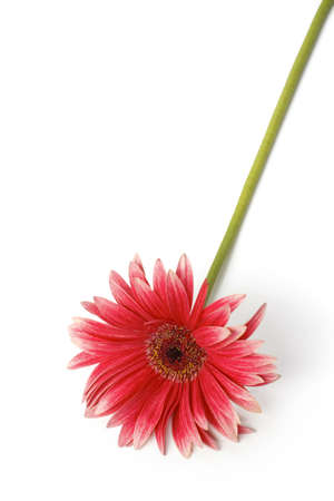 Red Gerbera is on the white background
