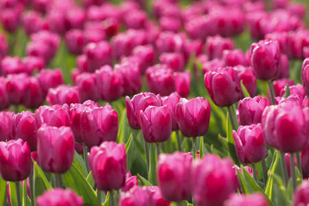 Bright pink tulips are in the park in spring sunny day photo