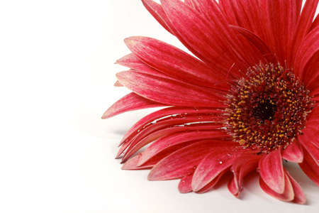 Head of red gerbera with drops is lying on the white background