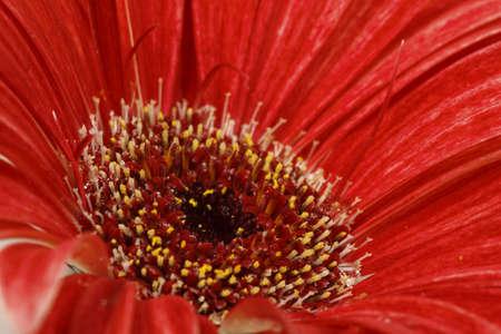 Red gerbera in macro image, bright color.