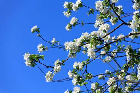 blossomed tree spring