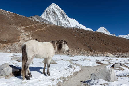 White horse standing on the trail to everest Base Camp with Pumori and Kala Patthar mountains in the background. Beautiful white horse in high Himalayan mountains.