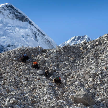 Group of black Nepali yaks carrying their heavy load with Everest summit on the background. Gorgeous photo.