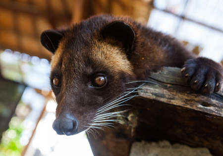 Asian palm civet (Paradoxurus hermaphroditus). People use it for production of famous kopi luwak.