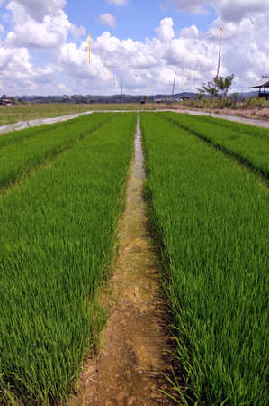 rice seedlings ready for planting photo