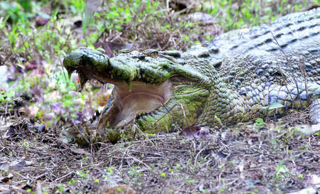 settles: crocodile settles on the grass ready to pounce Stock Photo
