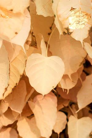 bo: Cream bo leaf Stock Photo