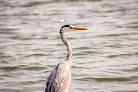 Beautiful portrait of a Grey Heron on the side of a lake Stock Photo
