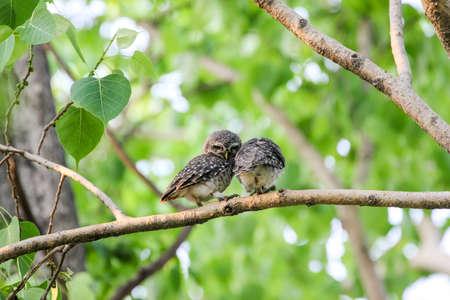owlet: Beautiful spotted owlet (Athene brama) Stock Photo