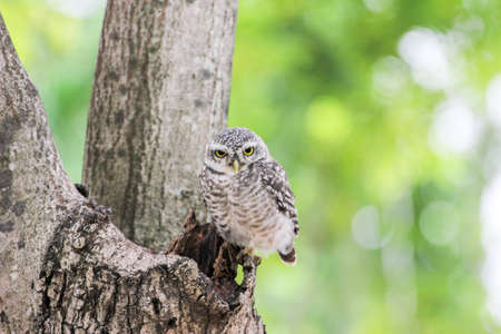 spotted: Beautiful spotted owlet (Athene brama) Stock Photo