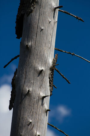 affected: Wood, affected by bark beetle  Dead tree trunk and peeling bark  Russia
