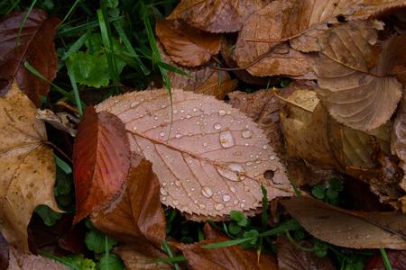 autumn leaf with drops of rain, close up, nature