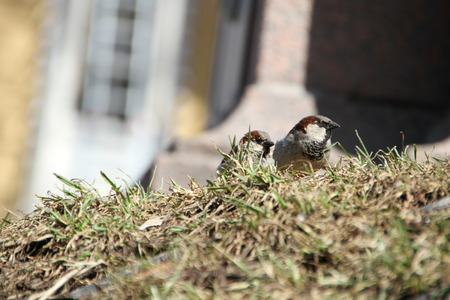 hillock: Two sparrows on a hillock in the middle of a spring grass. Natural background