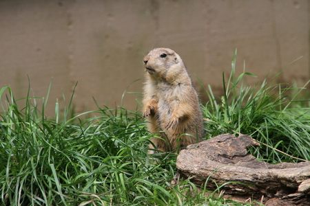 stood: Marmot stood in a ridiculous position with a blade of grass in his teeth. The animal in alarm stopped, day, summer