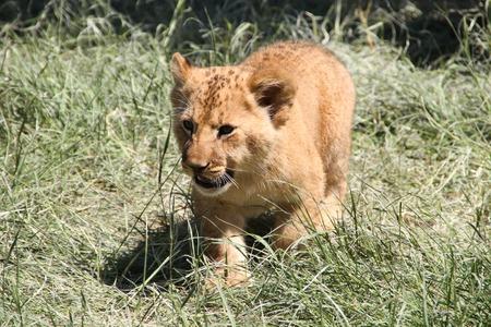 lion cub: Lion cub walking on grass