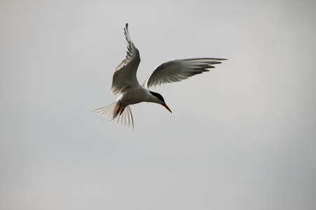 beautifully: Tern beautifully hung in the air. Silhouette of a Seagull natural background