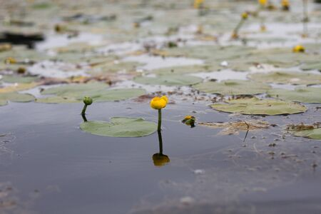 potbelly: Potbelly yellow river water flower plants nature background horizontal