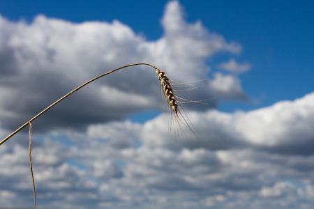 hintergrund himmel: Ein Stiel des Weizens auf dem Hintergrund Himmel