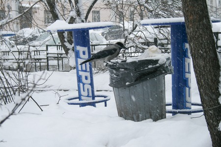Moscow, Russia - December 31, 2009. Grey crow eats from a garbage can in the background of advertising Pepsi. Winter in Russia Редакционное
