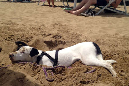 gay, dog tired, having made his hole you put in and sunbathing on the beach by the sea photo
