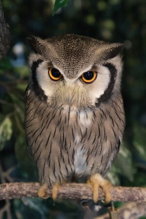 Close-up of Northern white-faced owl in captivity Archivio Fotografico