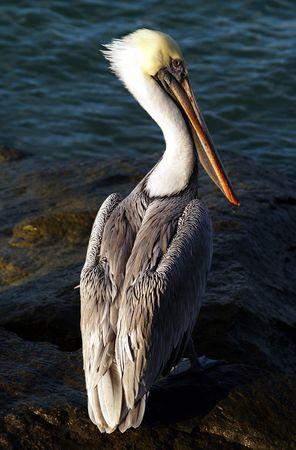 Pelican waiting for fish scraps, Fort Pierce Inlet Stock Photo