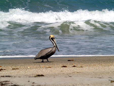 pelican biting himself