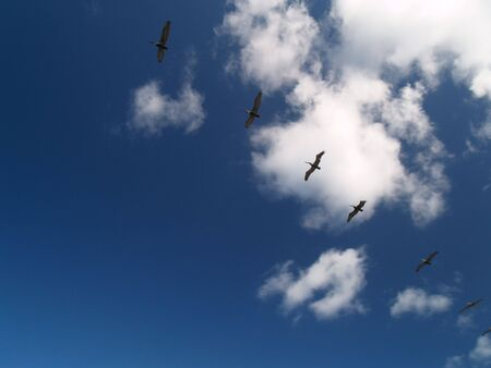 Pelicans flying in formation Stock Photo
