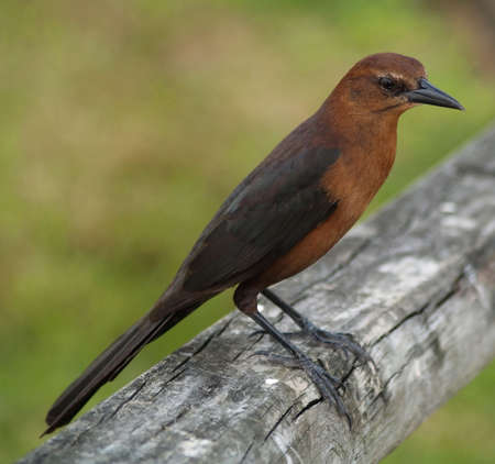 brown bird