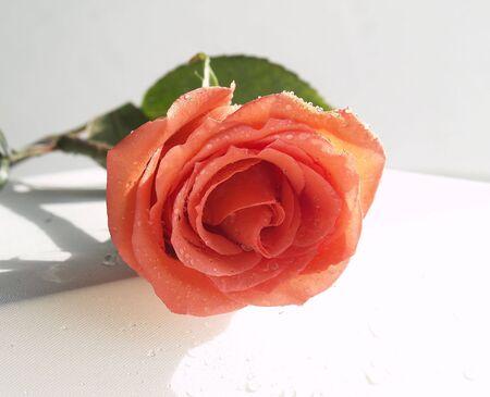 single coral rose