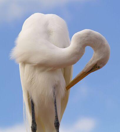 egret grooming