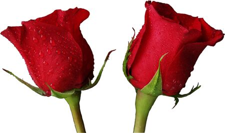 2 isolated red roses Stock Photo