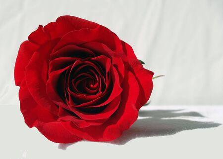 白に 1 単一トリミングされた赤いバラ