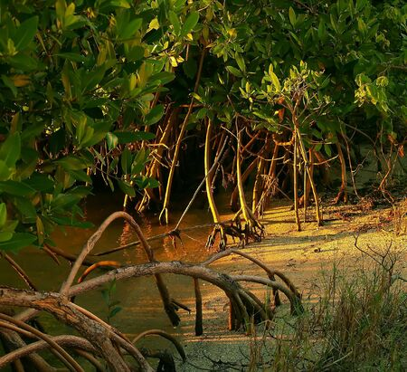 Mangroves at Sunset Stock Photo - 2319215