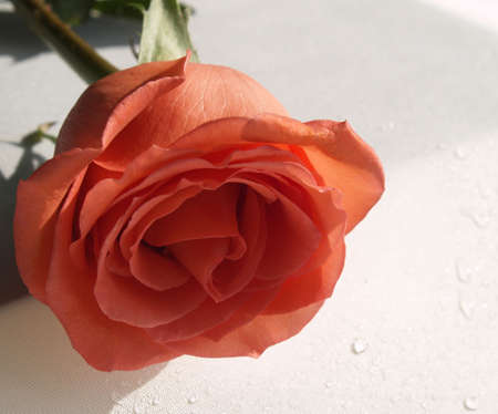 single perfect coral rose Stock Photo